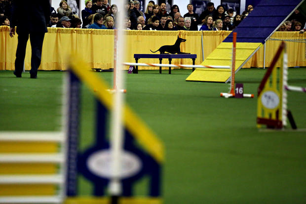 Dogs compete in the WKC agility competition