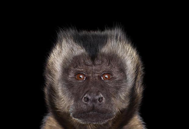 capuchinmonkey6.jpg