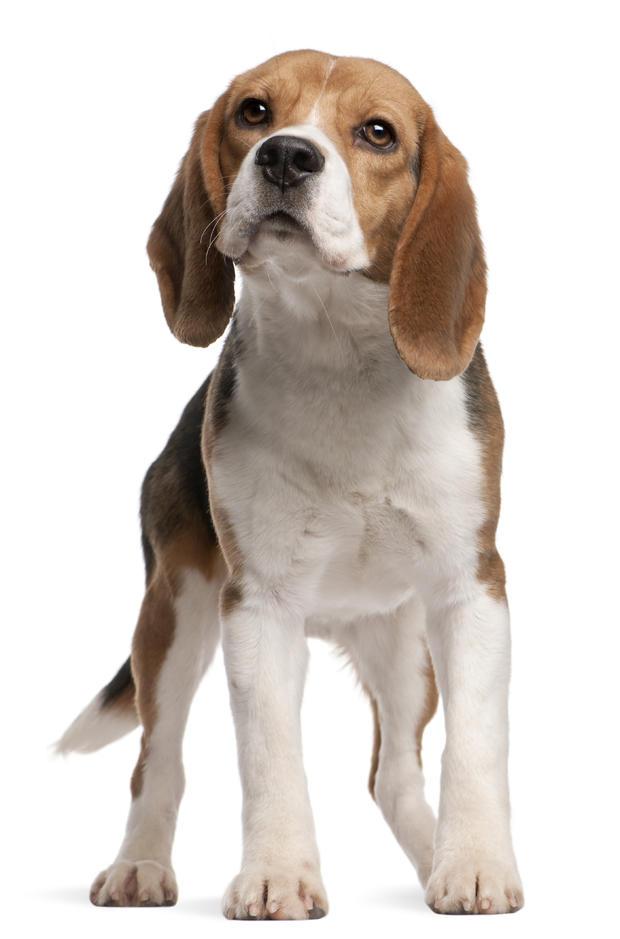 beagle3istock.jpg