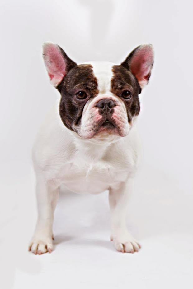 french-bulldog1akc.jpg
