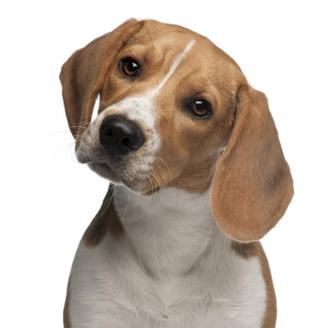 Top dog breeds in the U.S.