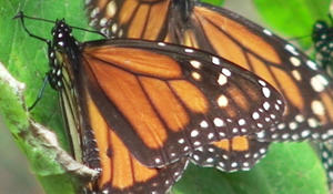 ​Planting a future for monarch butterflies