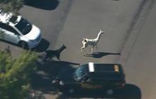 Llamas on the lam