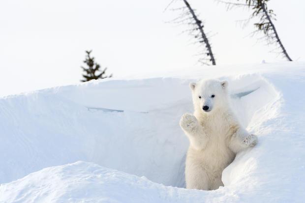 polar-bears37istock.jpg