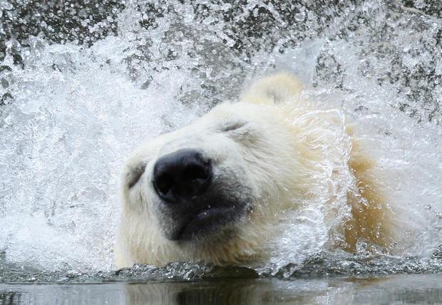 polar-bears10getty.jpg