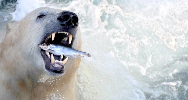 polar-bears09getty.jpg