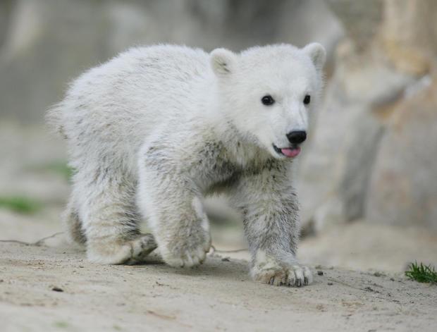 polar-bears02getty.jpg