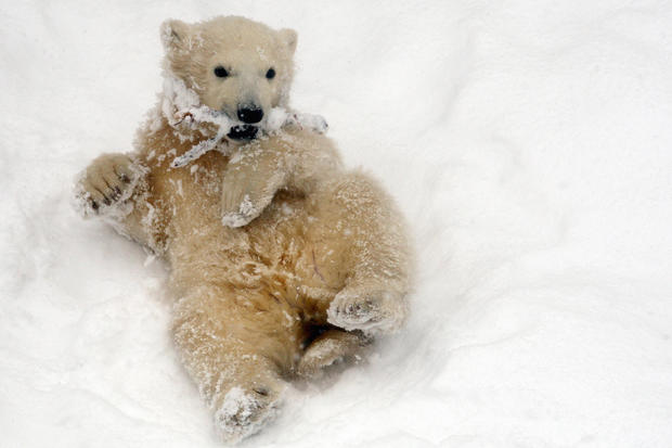 polar-bears05getty.jpg