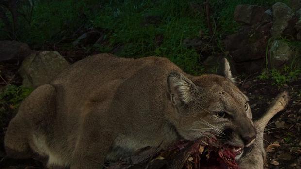 Cougar and prey i - 5 9