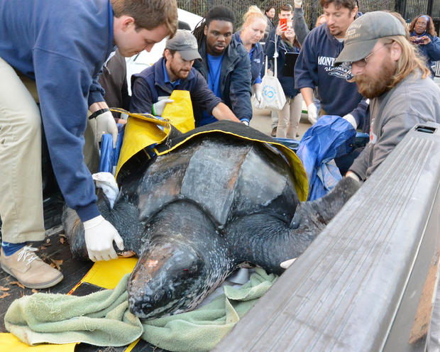 south-carolina-aquarium-sea-turtle-rescue-program-leatherback-sea-turtle-march-2015-7.jpg