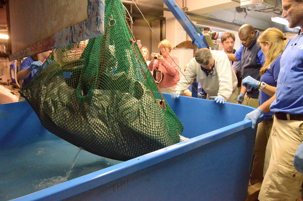 csouth-carolina-aquarium-sea-turtle-rescue-program-leatherback-sea-turtle-weight-check-and-antibiotic-injections-march-2015-38.jpg