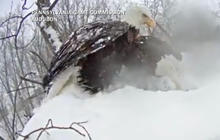 Watch: Time-lapse video captures nesting bald eagles