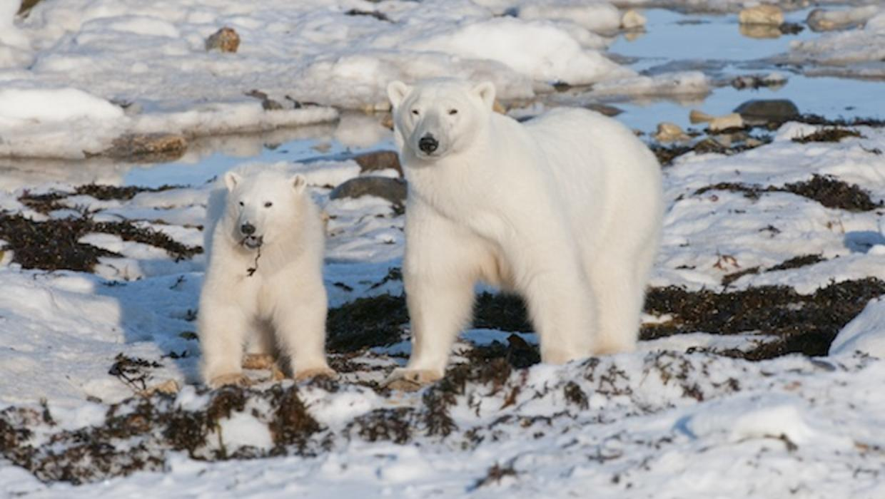 global warming and polar bears essay