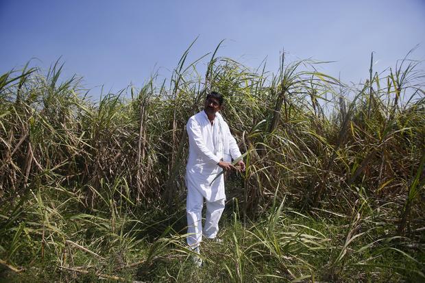 Indian farmer Rajvir Singh shows sugarcane crop damaged by unseasonal rains, in Sisola Khurd village in the northern Indian state of Uttar Pradesh