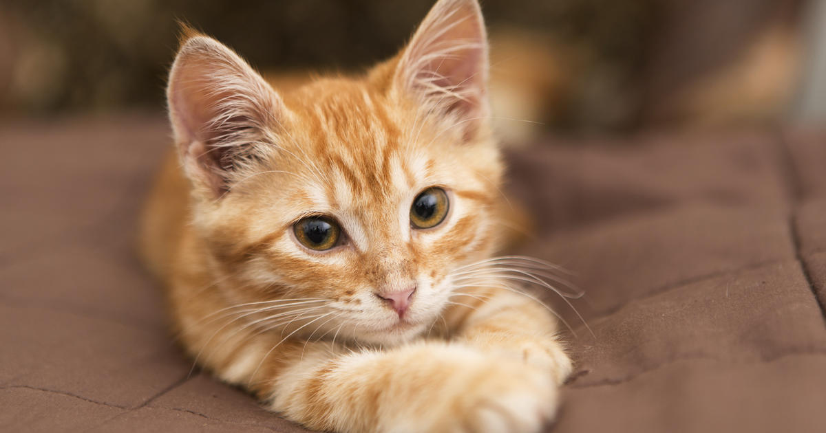 Cats chat with us using tails whiskers and winks cbs news - Image de bebe chat ...