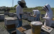 Why are America's bee colonies dying?