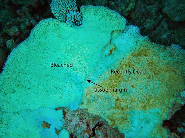 Coral bleaching hits Indian Ocean reefs