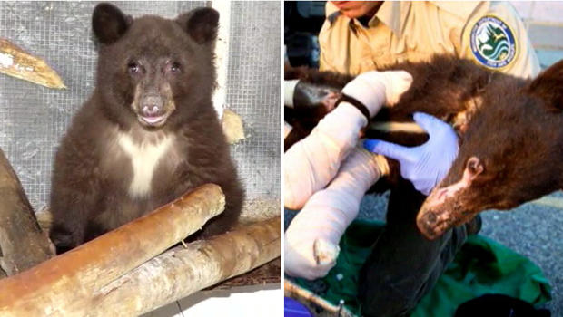 A black bear severely burned in a wildfire in 2014 in Central Washington was expected to be released back into the wild June 3, 2015.