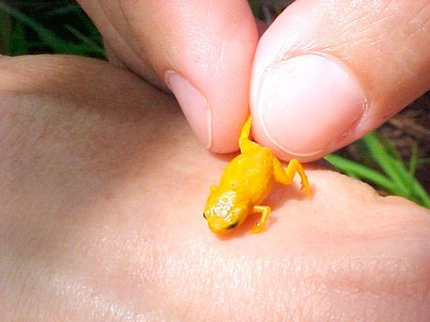 tiny-brachycephalus-frog.jpg