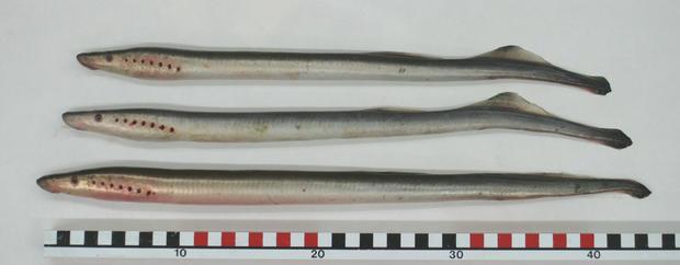arctic-lampreys.jpg