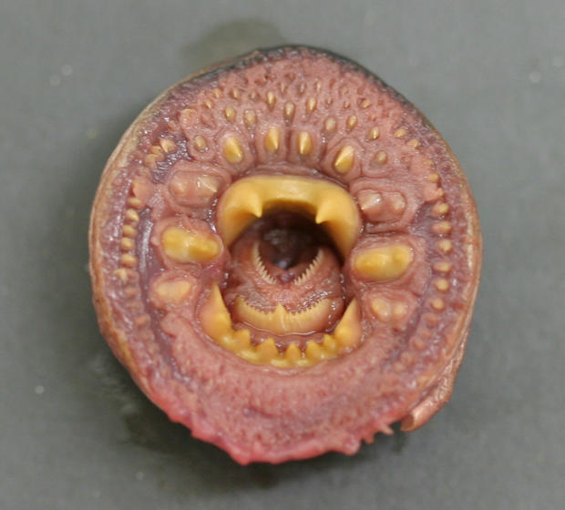 arctic-lamprey-mouth-3.jpg