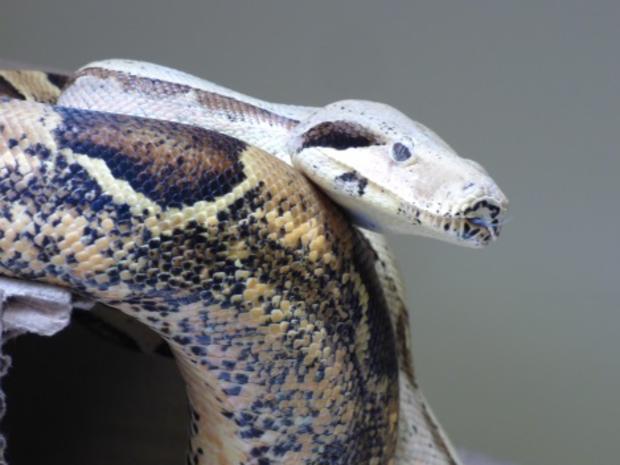 U S  repatriates seven snakes to Brazil by plane - CBS News