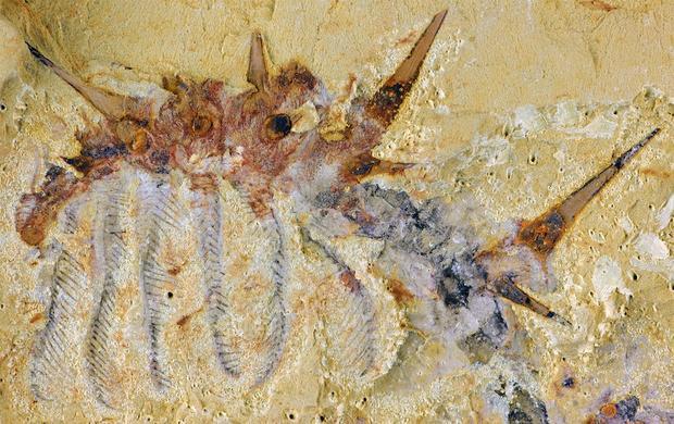 collinsiumfossilcambrian.jpg