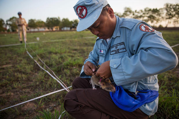 """HeroRATs"" detect land mines and save lives"