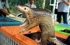 cbsn-fusion-endangered-pangolins-poached-for-their-scales-could-hold-answers-to-help-cure-coronavirus-in-humans-thumbnail-598231-640x360.jpg
