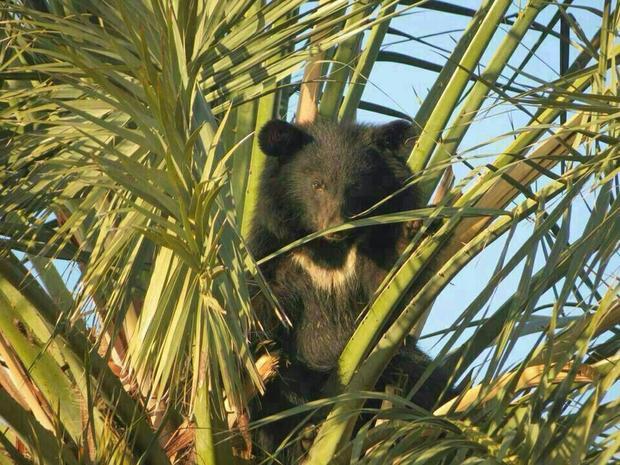 baluchistan-bear.jpg