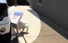 Stubborn dog won't drop box despite tripping, running into walls