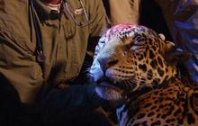 """""""In Search of the Jaguar"""" update"""