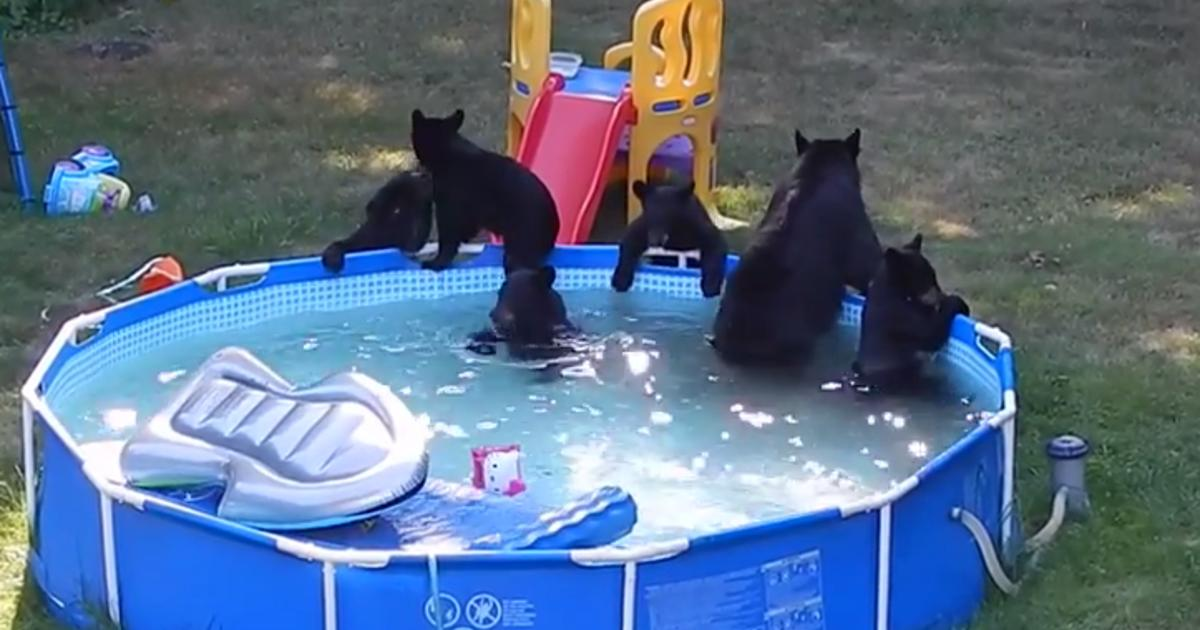 Watch mama bear 5 cubs frolic in n j family 39 s pool cbs news for Bears in swimming pool new jersey