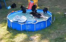 Bear family takes a dip in backyard pool