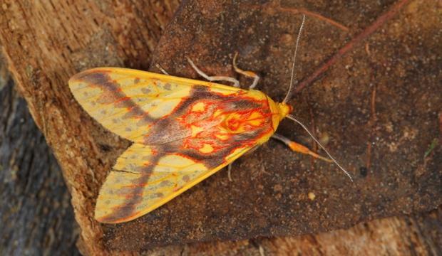 moth-10-symphelbia-fulminans-eribidae-credit-mileniusz-spanowicz-wcs.jpg