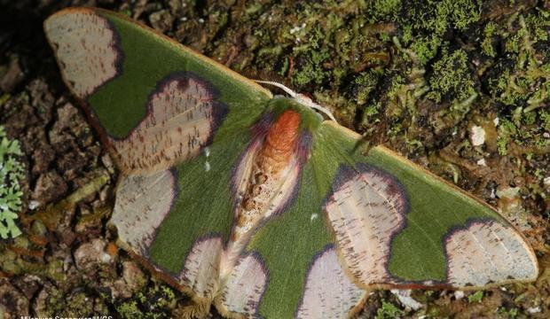 moth-3-oospila-albicoma-matura-geometridae-credit-mileniusz-spanowicz-wcs.jpg