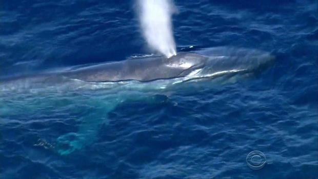 Blue whale disappears while entangled by fish line cbs news altavistaventures Choice Image