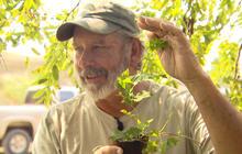 How big can hops plants get?