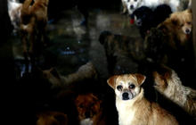China district: Get rid of your dogs or they die