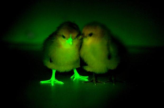 2015-09-07t130615z1016370052gf10000195838rtrmadp3health-birdflu-gmo.jpg