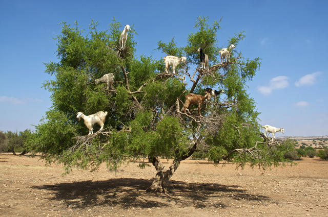 The poop of these Moroccan tree goats produces pricey argan oil - CBS News