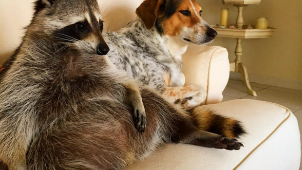 Pumpkin the raccoon is just your average dog