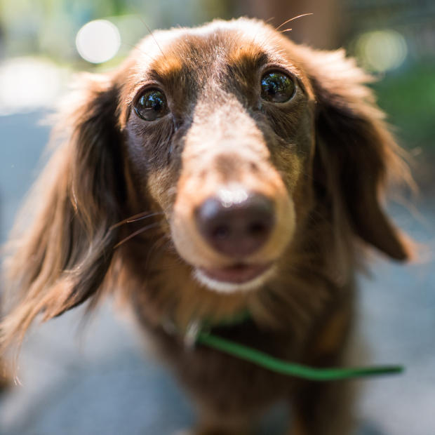dogist-milly-dachshund-4981.jpg
