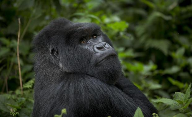 rwanda s mountain gorillas conservation tourism a lifeline for