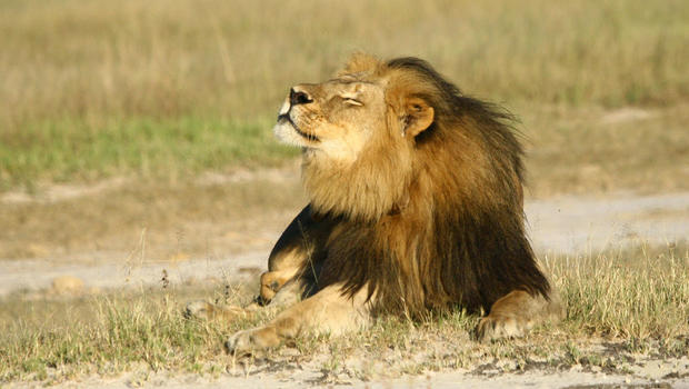 Cecil the lion suffered for hours before his death, researcher claims - CBS  News