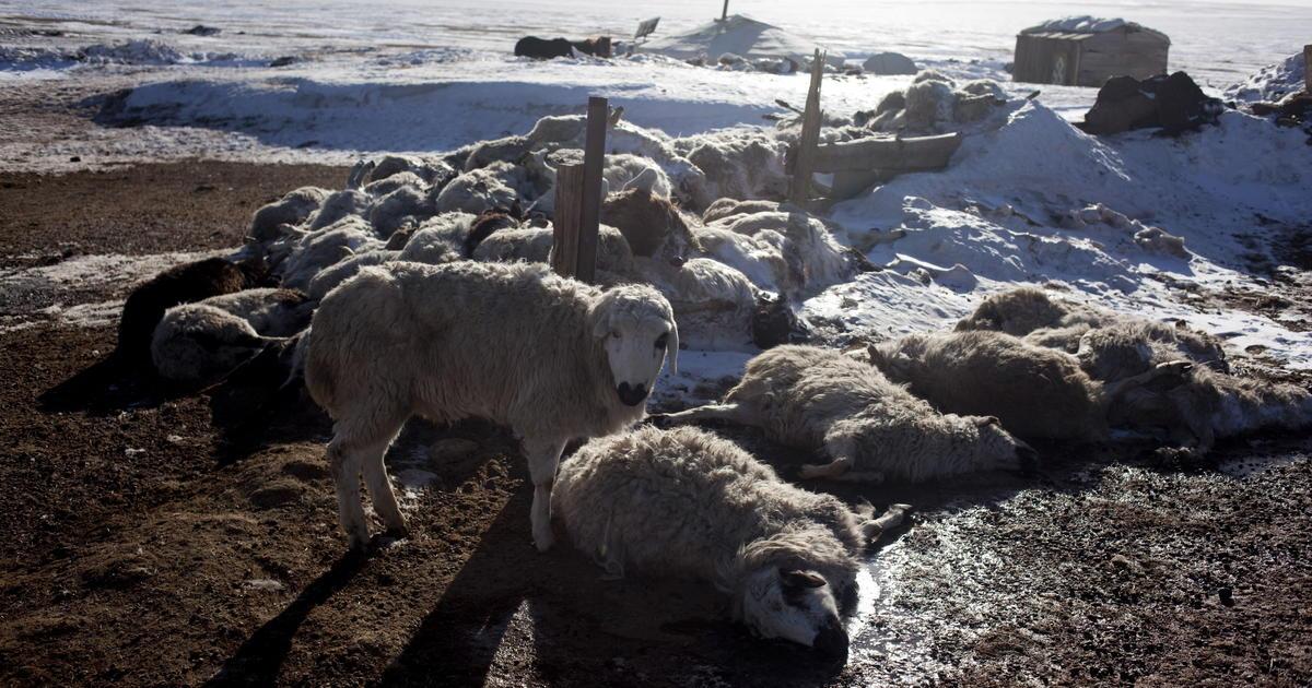 Image result for 440,000 farm animals killed in Mongolia harsh winter