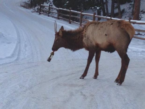 elk-drinking-wine.jpg