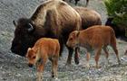 yellowstone-bison.jpg