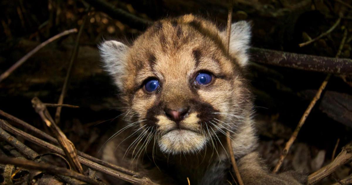 Wild Cats Vs Wild Dogs Population