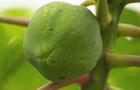 gmo-papaya-tree-promo.jpg